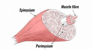 Perimysium Definition Anatomy