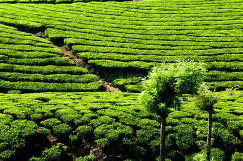 tea plantation landscape munnar kerala india nature