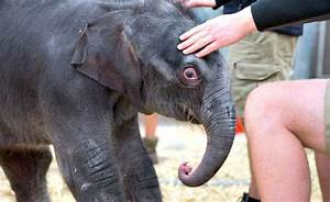 Asian Elephant Calf Takes His First Steps at Melbourne Zoo ...