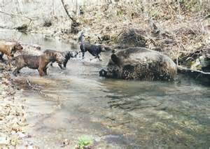 Russian Wild Boar Hunting Tennessee