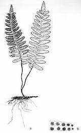 Fern Drawing Coloring Resurrection Licorice Ferns Sketches Sister Pages Root Roots Artists Sketch Silver sketch template