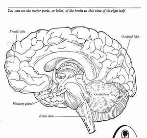 Label The Brain Anatomy Diagram Blank Brain Diagram To