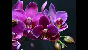 Pink Orchids Blooming Time-lapse