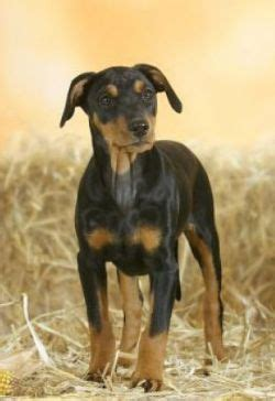 german pinscher breed information pictures standard