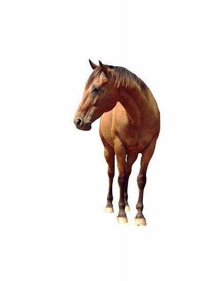 Horse Clipart Transparent Background Vector Horses Eohippus