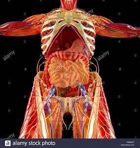 Human Body  Muscular System  Internal Organs  Digestive