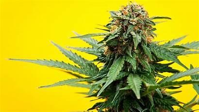 Marijuana Medical Cannabis Regular Bullet Marihuana Know