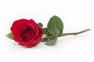 1 Rote Rose Bedeutung : rosenstrau oder einzelne rose muttertag blumen 2018 ~ Whattoseeinmadrid.com Haus und Dekorationen