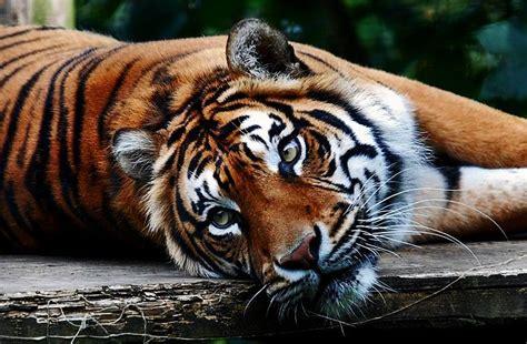 tiger zoos male around sumatran zoo welsh mountain zoochat