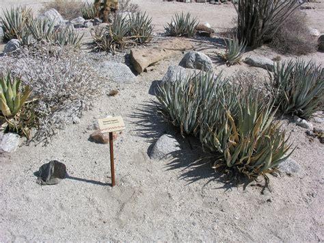 Agave deserti ssp. deserti (Desert Agave)