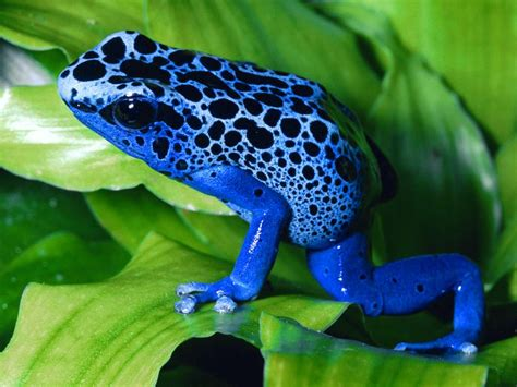 poisonous frog  unusual blue desktop wallpaper hd
