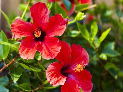easy planting tips  hibiscus plants boldskycom