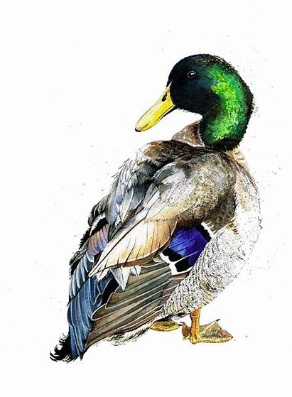 Duck Mallard Painting Ducks Watercolor Drawing Mixed