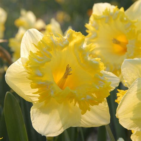 narcissus snowtip white flower farm