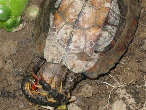 sword temple keeled box turtle eating centipede