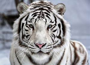 Face To Face with White Bengal Tiger jigsaw puzzle in ...