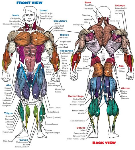 The muscular system can be broken down into three types of muscles: Complete Human Muscle Diagrams 2019 - 101 Diagrams ...