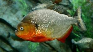 Man Admits Smuggling Nearly 40,000 Piranhas to NYC - NBC ...