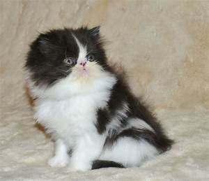 Black and White Persian Female F-SALE | Ross On Wye ...