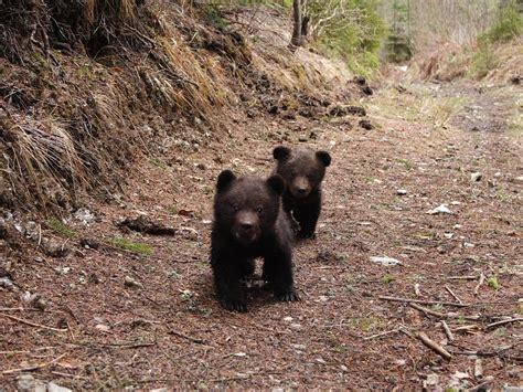 Bears In Romania