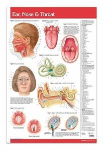 This Ear Nose Throat Poster Is The Ultimate Reference In