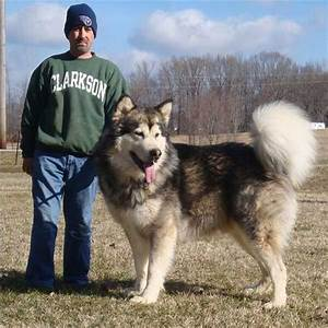 Hudsons Malamutes - Kibo now this should be Daisys new ...