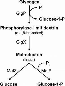 Schematic Diagram Of Glycogen Degradation In E  Coli