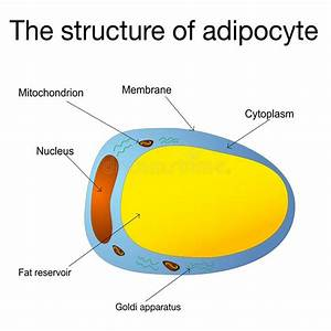 Adipocyte Structure  Fat Cell Stock Vector