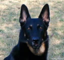 how can i tell the differance between a german shepherd