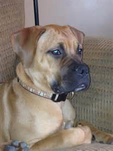 Mastiff Rescue Dogs for Adoption
