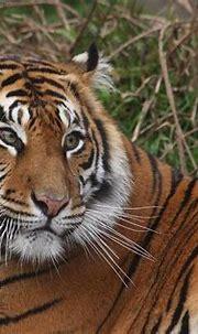 Sumatran tiger, female, San Francisco Zoo | Tiger pictures ...
