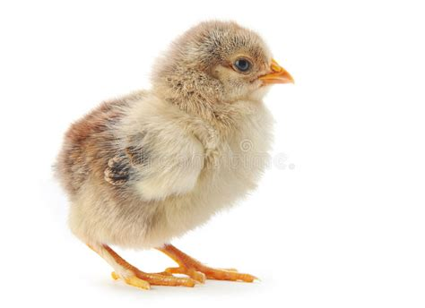 Young Chicken Stock Image Image Of Small, Baby, Chicken