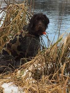 Griffons Hunting & Pointing, The Versatile Gun dog ...