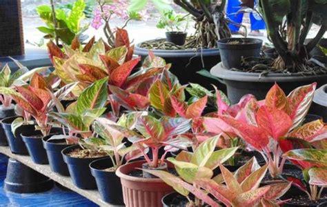 dunia tanaman hias merawat tanaman aglaonema