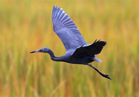 blue heron facts pictures distribution behavior