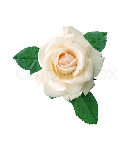 Real Flower Background Images Beautiful White Rose On A White Background Stock Photo Colourbox