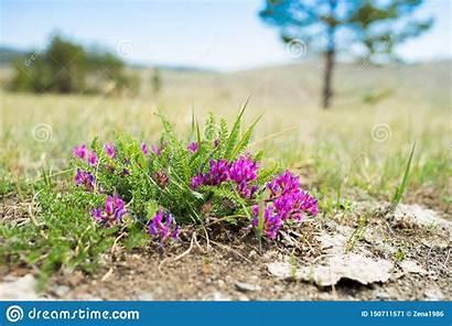 Steppe Flower Omegle Summer Little Purple Flowers