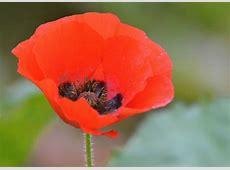 Common Poppy Norfolk Wildlife Trust