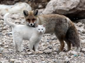 is a fox a or cat cat and fox are best friends with cats