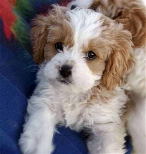 Cavapoos Do They Shed by Cavapoo Cavalier King Charles Spaniel Poodle Mix P