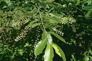 Immergrne Hecke Mit Blten Excellent Physocarpus