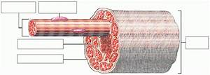 Anatomy Review  Skeletal Muscle Tissue