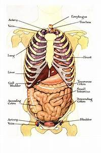 Internal Organ Map