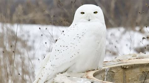 Project SNOWstorm: Snowy Owls on the Wing – Cool Green Science