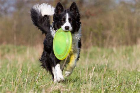 intelligente hunderassen  halten sie border collies