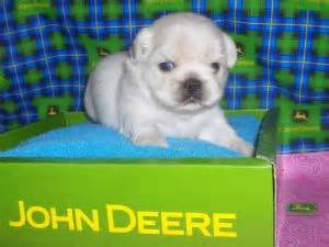 pekingese puppies  florida