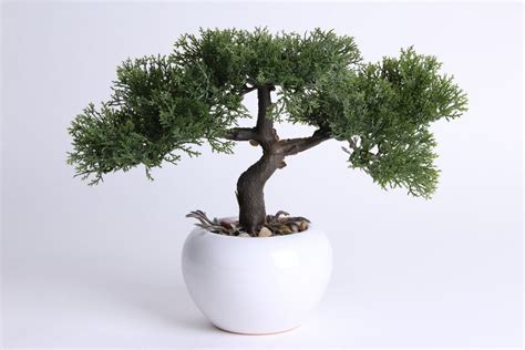 cedern bonsai  weissem keramikgefaess bonsai