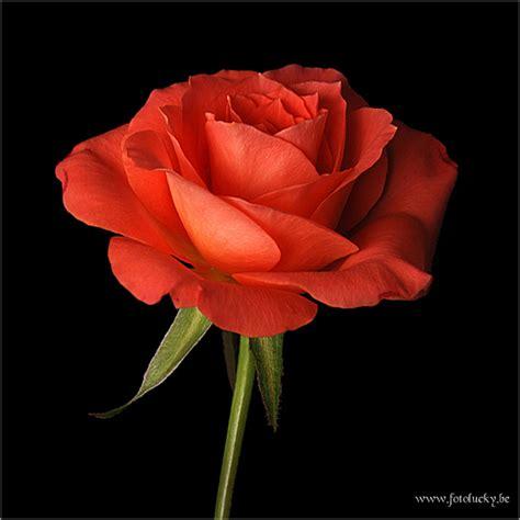 Algemeen/Bloemen & Planten/Rode roos 2