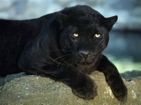 Black Jaguar by Black Jaguar Wallpapers 45 Wallpapers Adorable Wallpapers