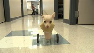 Two-legged dog gets her wheels on Vimeo